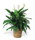 Large Spathiphyllum Plant from Flowers by Ramon of Lawton, OK